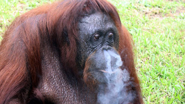 Government authorities seized the adult ape named Shirley from a state-run ...