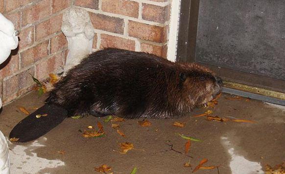 beaverdoor