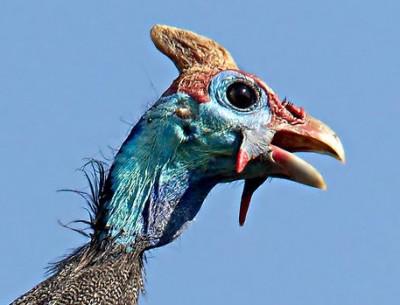 Helmuted Guinea Fowl1
