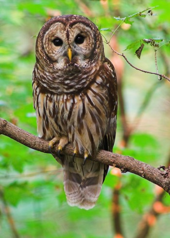barred-owl1