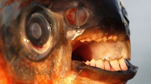 pacu-teeth