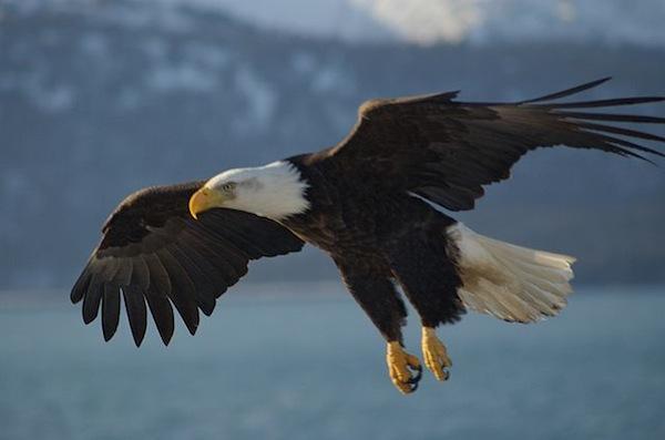 640px-bald_eagle_alaska_10