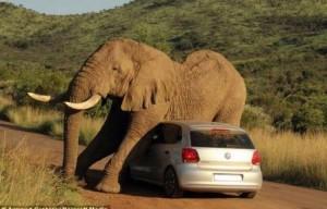 elephantbf