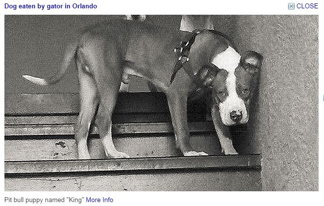In Orlando, Gators are used to Neuter PitBulls when owners won't.