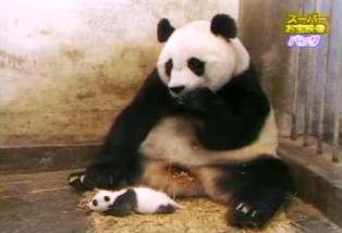 Panda bite - photo#22